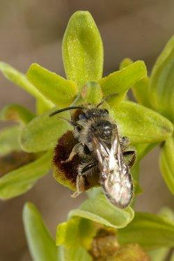 Ophrys araneola et Andrena sp. Ophrys-araneola-13042