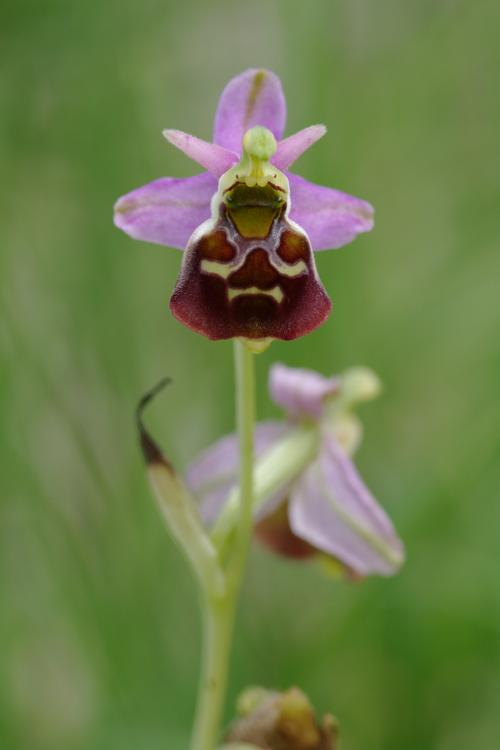 Ophrys fuciflora (?) très tardif Ophrys-fuciflora-k4073